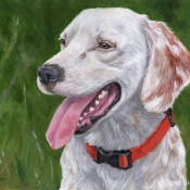 Huckleberry, custom pet portrait of an English Setter by Hope Lane