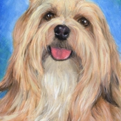 Yunque, the Havanese custom pet portrait painting by Hope Lane