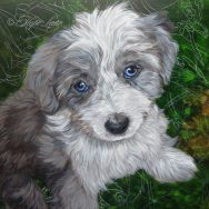 Working on an Aussiepoo Portrait