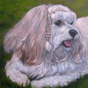Tigger, custom pet portrait of a Havanese by Hope Lane